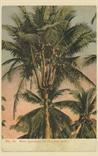 Picture of Rare Specimen of Coconut Tree
