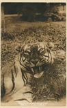 Picture of A Malayan Tiger