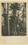 Picture of Curious Coconut Tree