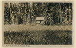 Picture of Malay House and Paddy Field
